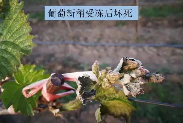 倒春寒――果树的灾难! 20